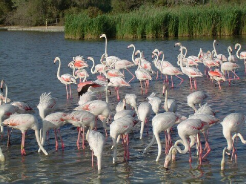 Camargue - flamants roses - Gard - Languedoc-Roussillon